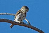 Owls and Nightjars
