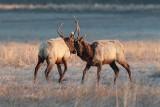 Dueling Elk