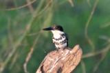 Kingfishers and Trogons