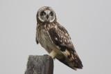 Pueo (Hawaiian Owl)