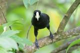 Blackbirds, Anis, Orioles and Oropendolas