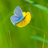 Blue on Buttercup