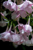 Dripping Phlox