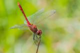Ruddy Darter (male)