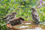 House- and Field Sparrows