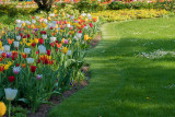 Park Tulips
