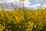 Rapeseed  Close-up