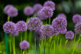 Group of Allium