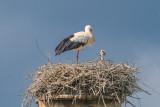 Baby Stork