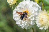 Carpenter Bee on Dahlia