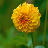Dahlia in Yellow