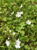 Woodland Star (Lithophragma ssp.)