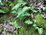 California Polypody (Polypodium californicum)
