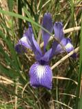 Ground Iris (Iris macrosiphon)