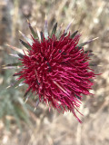 Red Thistle (Cirsium occidentale)