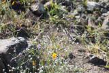 Jewelflower, Popcorn flower and California Poppy