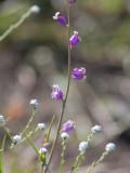 Jewelflower (Streptanthus species)