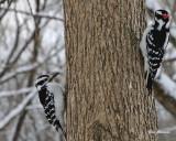 Oiseaux  du Québec - Birds  of Quebec