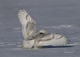 Harfang des Neiges Québec _Snowy Owl  - Bubo scandiacus -  ( ookpik  ) Grand Nord