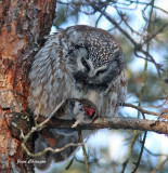 Nyctale de Tengmalm - Boreal Owl et Petite Nyctale - Northern saw-whet owl