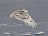 Harfang des Neiges Québec _Snowy Owl  - Bubo scandiacus -  ( ookpik  ) Grand Nord
