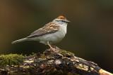 Several Sparrow Species