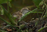 Spotted Sandpiper Baby