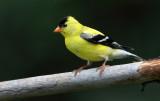 American Goldfinch(m)