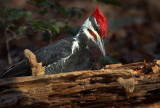 Mr Pileated