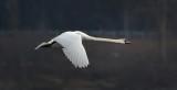 Swan Crop