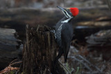 Ms Pileated
