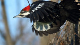 Pileated Exit