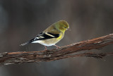 Winter Goldfinch continued