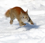 Just Squirrels