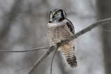 Hawk Owl On Grey
