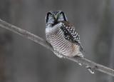 Hawk Owl On A Grey Day