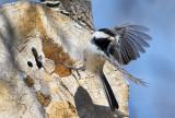 Chickadee Nesting Cavity
