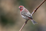 Purple Finches And House Finches Too