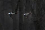 Common Merganser Pair