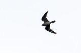 Common Nighthawk Closer To Home