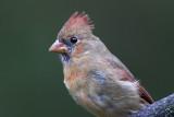 Nothern Cardinals