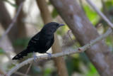 Mato Grosso Antbird