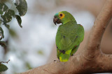 Turquoise-fronged Parrot