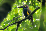 Yellow-eared Toucanet