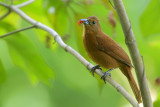 White-lined Tanager (female)