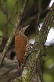 Red-rumped Woodpecker