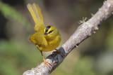 Black-crested Warbler
