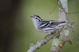 Black-andwhite Warbler