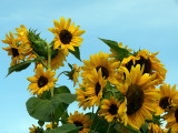 Bring me the sunflower crazed with the love of light