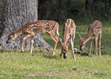 White-tail Fawns